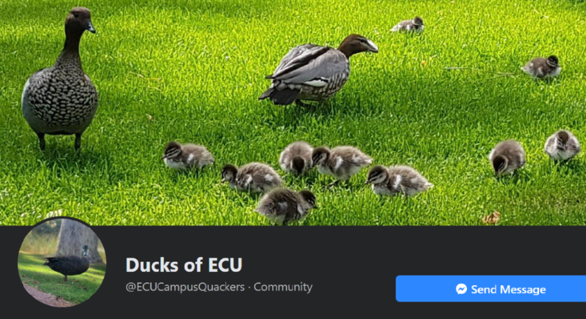 The Header image of Facebook page Ducks of ECU shows a family of ducks and their fluffy ducklings